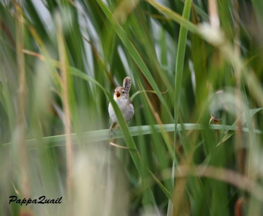 Marsh Wren - Coyote Hills 2