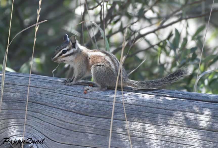 alpine chipmunk (probably) - devils postpile