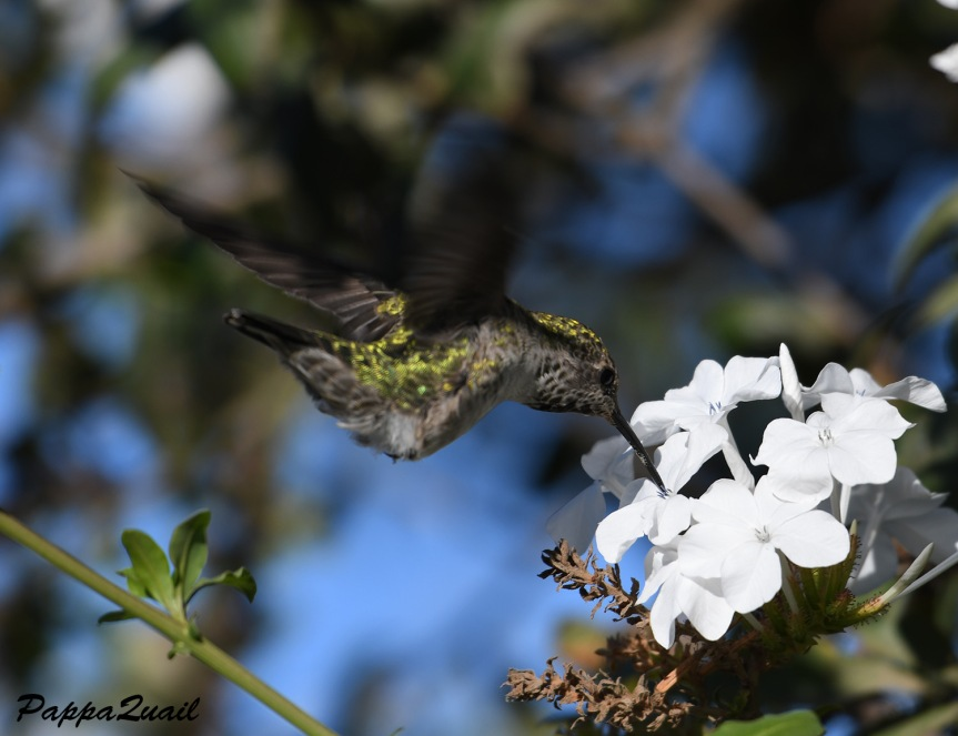 annas hummingbird - alameda creek