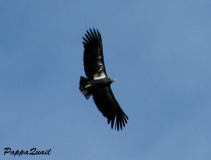 Condor jan 2010 1