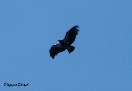 Condor jan 2010 4