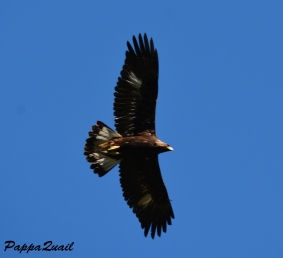 Golden Eagle - juvenile
