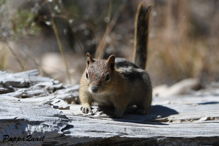 golden mantled ground squirrel - white mountains