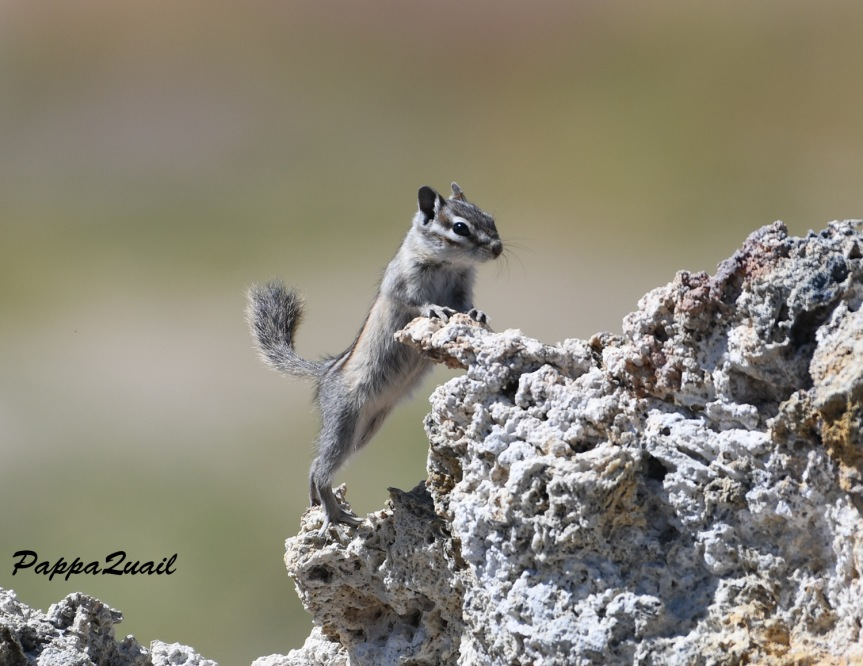 least chipmunk - mono lake