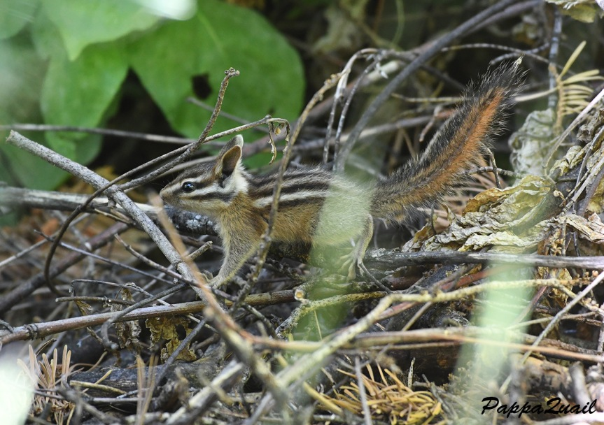 long eared chipmunk - big trees