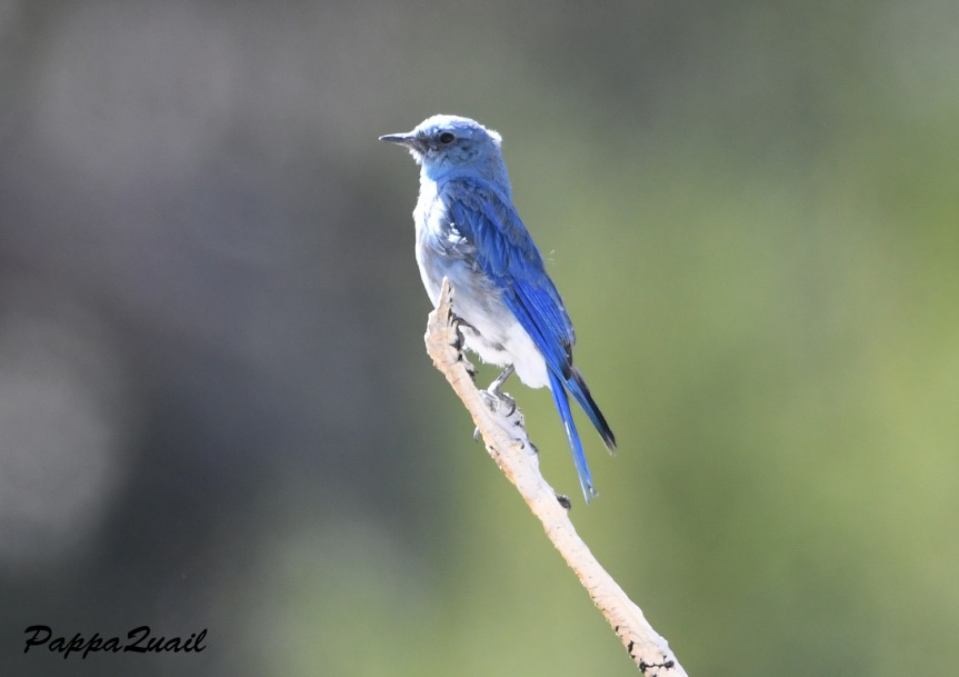 mountain bluebird (male) - white mountains