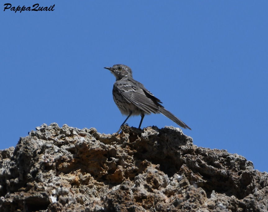 sage thrasher - mono lake