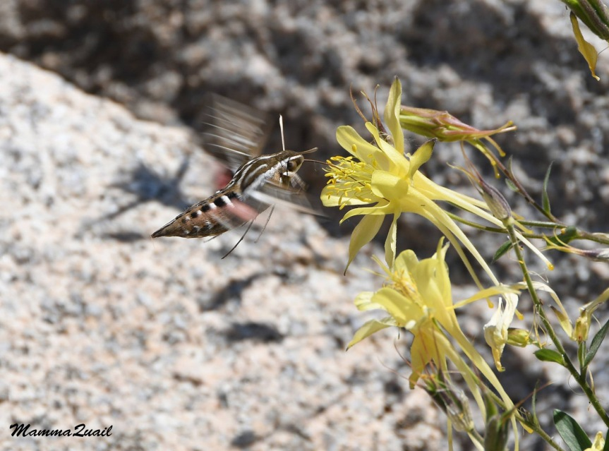 Sierra Columbine and Sphinx Moth