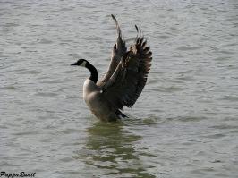 Canada Goose - male