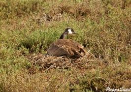 Canada Goose - nesting female