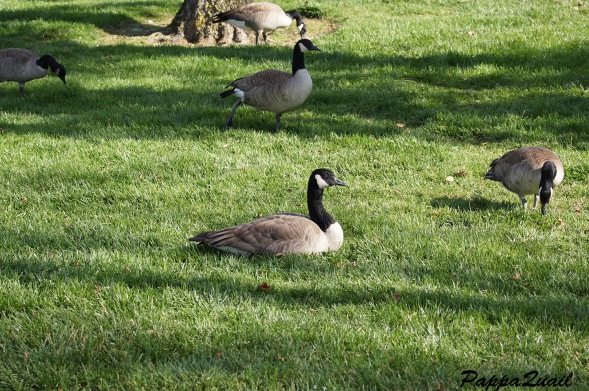Canada Goose sitting on food