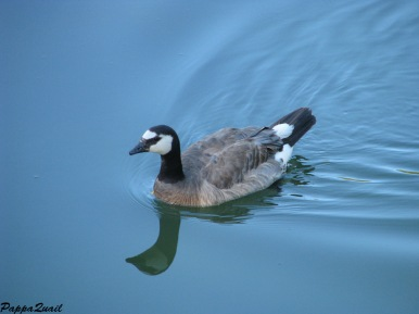 Canada Goose with some Barnacle Goose DNA