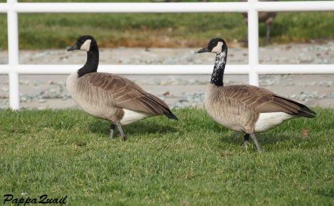 Canada Goose - white neck variant