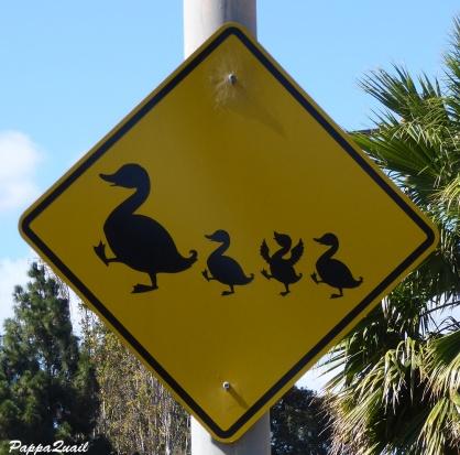 Beware of Canada Goose