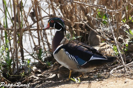 Wood Duck, breeding male