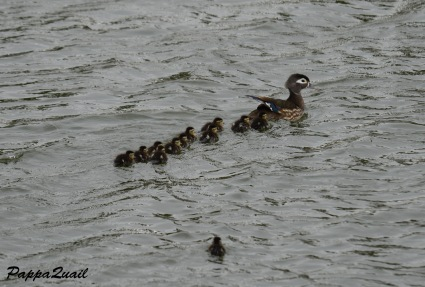 wood-ducklings-alameda-1