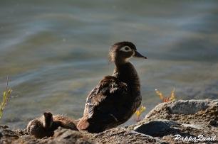 wood-ducks-alameda-3