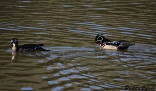 wood-ducks-alameda-4