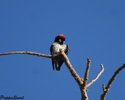 Acorn Woodpecker - Female