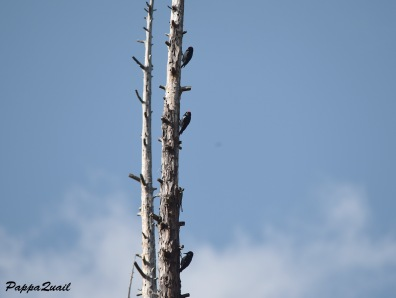 Acorn Woodpecker Family