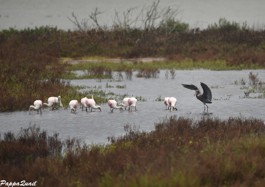 reddish-egret-and-spoonbills-1