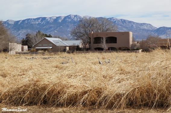 Sandhill Cranes - Albuquerque