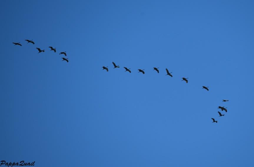 sandhill-cranes-aransas-2
