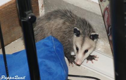 Virginia Opossum - in garage
