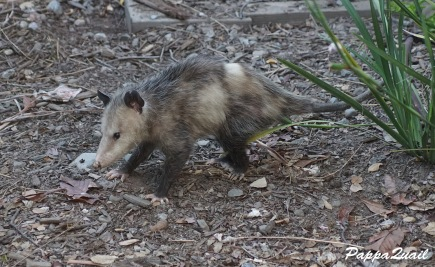 Virginia Opossum - back yard