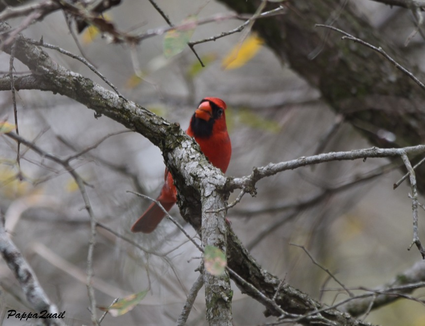 northern-cardinal-male