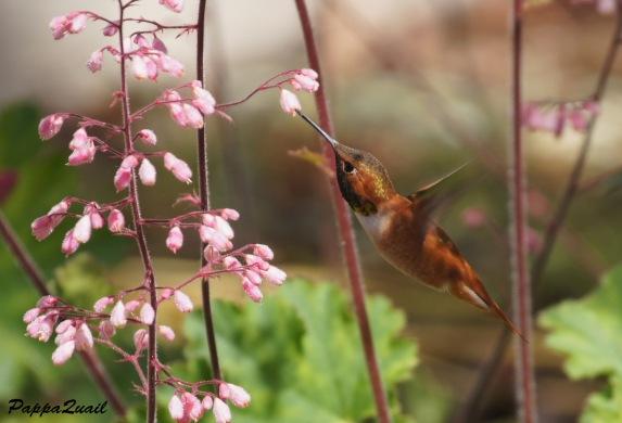 Ruffous Hummingbird