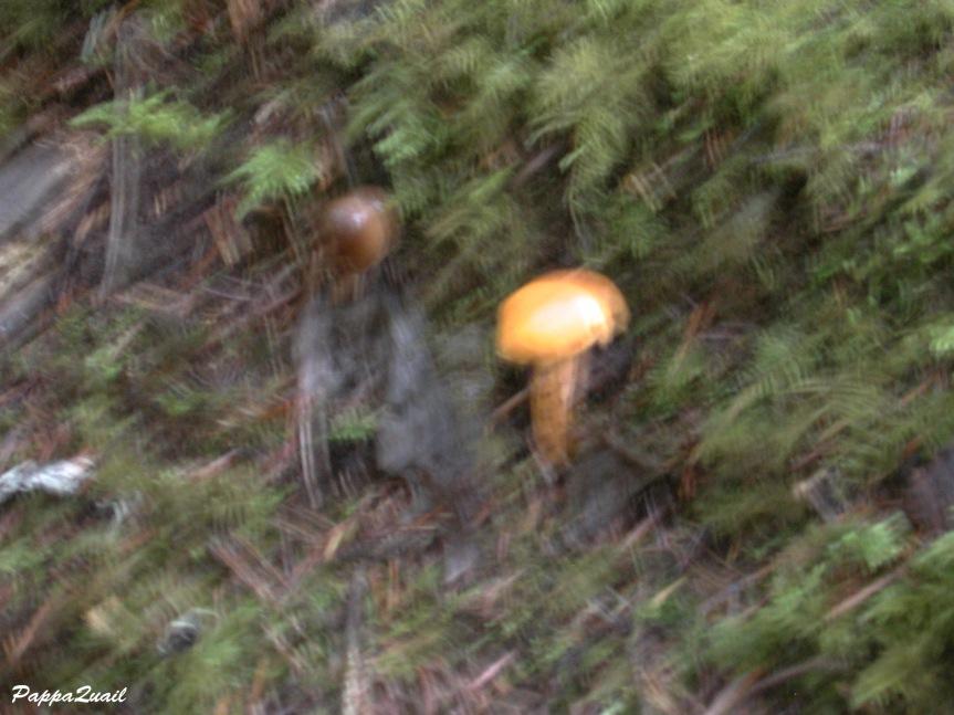 fuzzy-mushroom