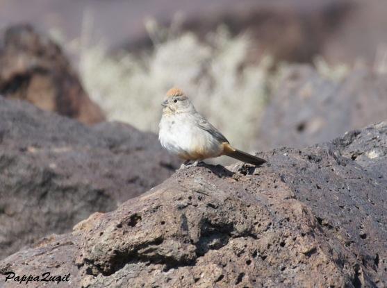 albino Canyon Towhhe - New Mexico