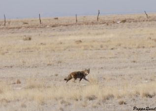 Coyote in New Mexico