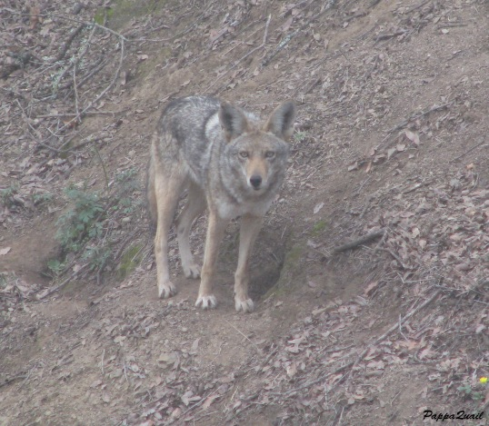 Coyote in California