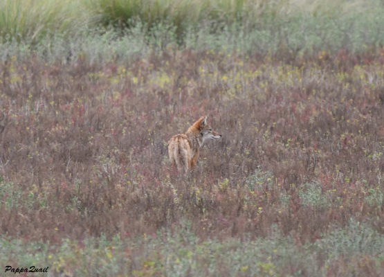 Coyote in Texas