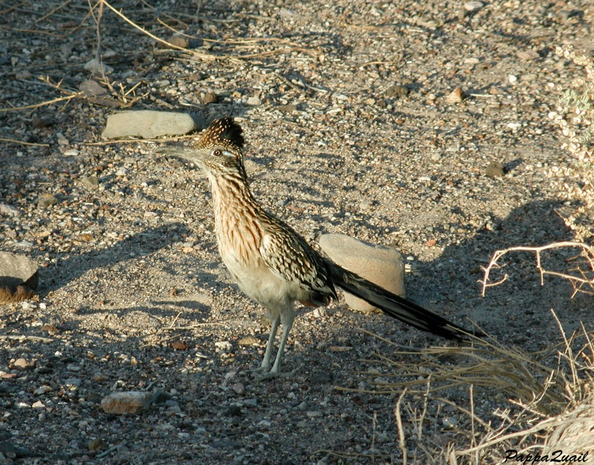 roadrunner-death-valley-2002