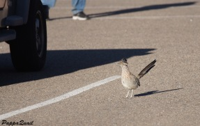 Roadrunner in New Mexico