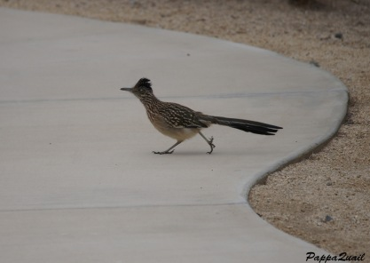 Roadrunner in Southern California