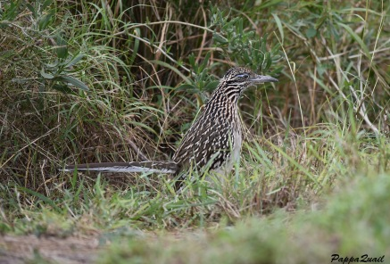 Roadrunner in Texas