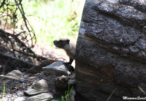 Yellow-bellied Marmot - young one