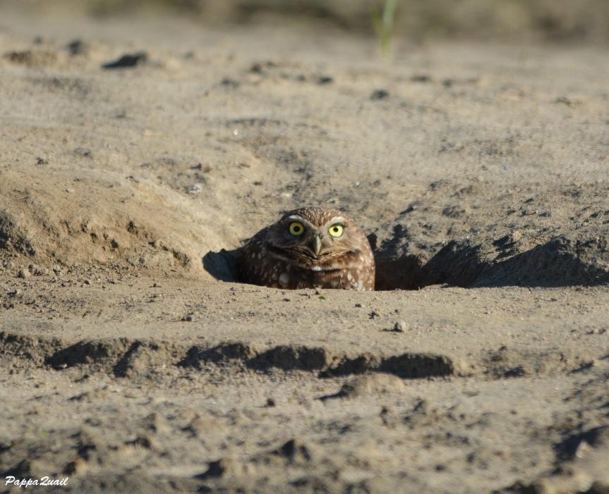 DSC_0305 Burrowing Owl