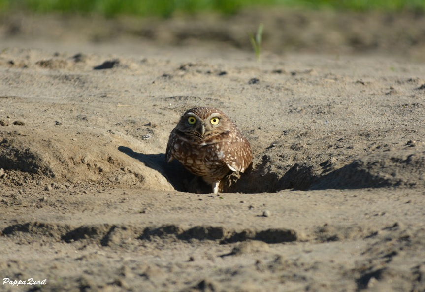 DSC_0318 Burrowing Owl