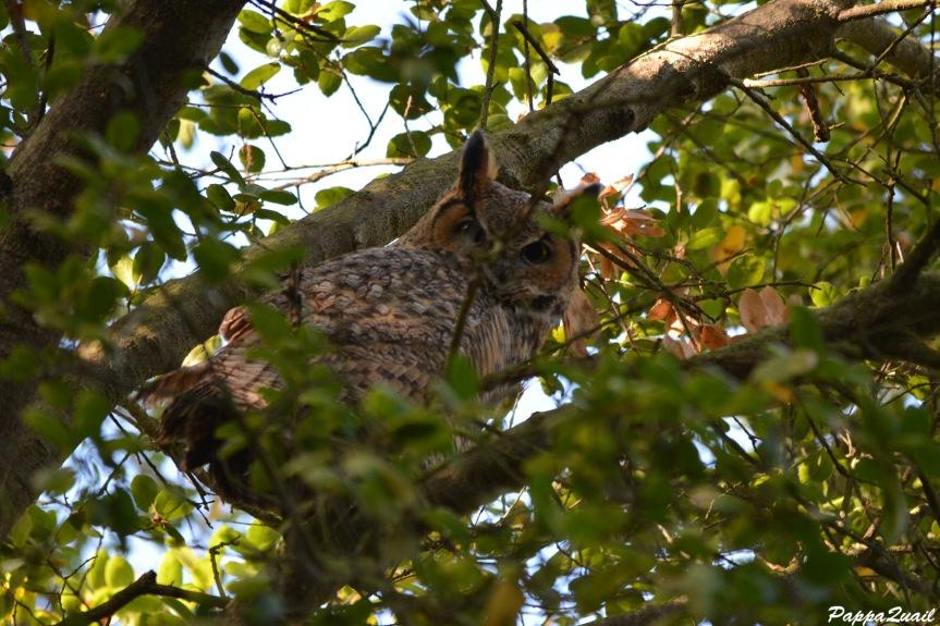 DSC_8963 great horned owl