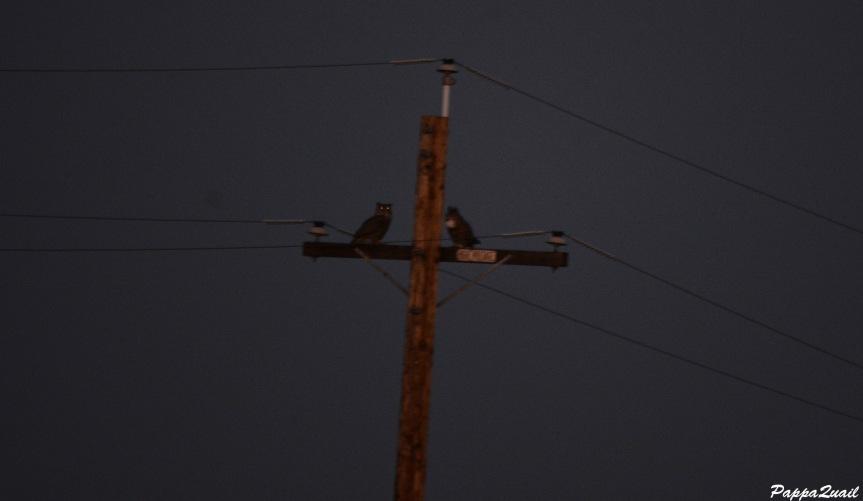 DSC_9281 great horned owl