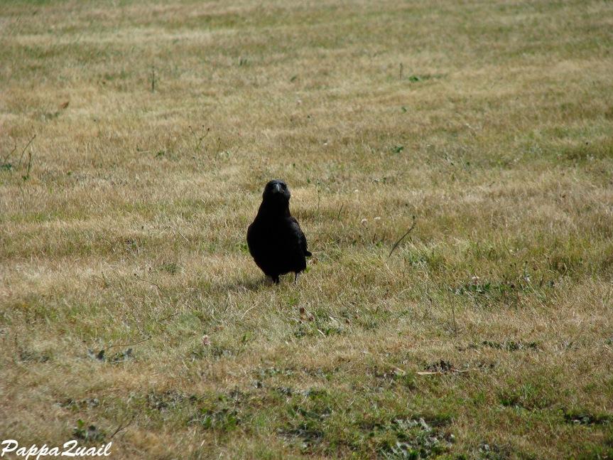 IMG_7050 northwestern crow