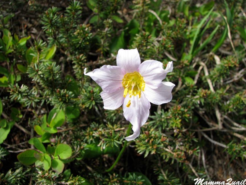 IMG_7088 white avalanche-lily Erythronium montanum