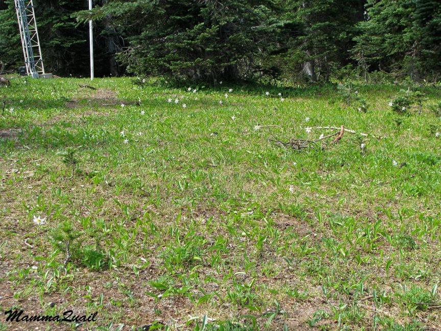 IMG_7089 white avalanche-lily Erythronium montanum