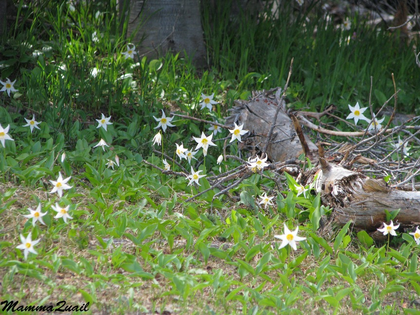IMG_7091 white avalanche-lily Erythronium montanum