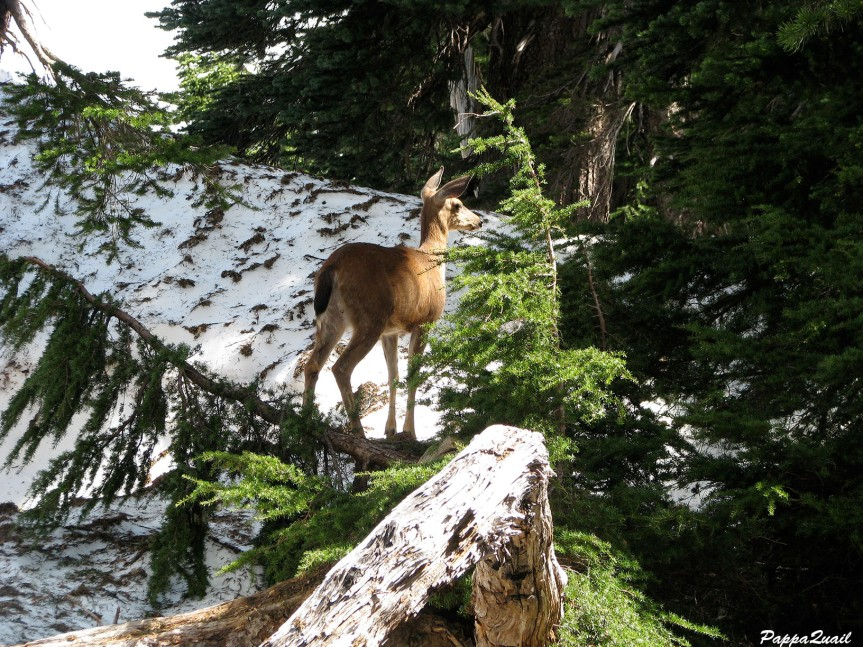 IMG_7142 mule deer